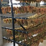 Grapes hanging to dry
